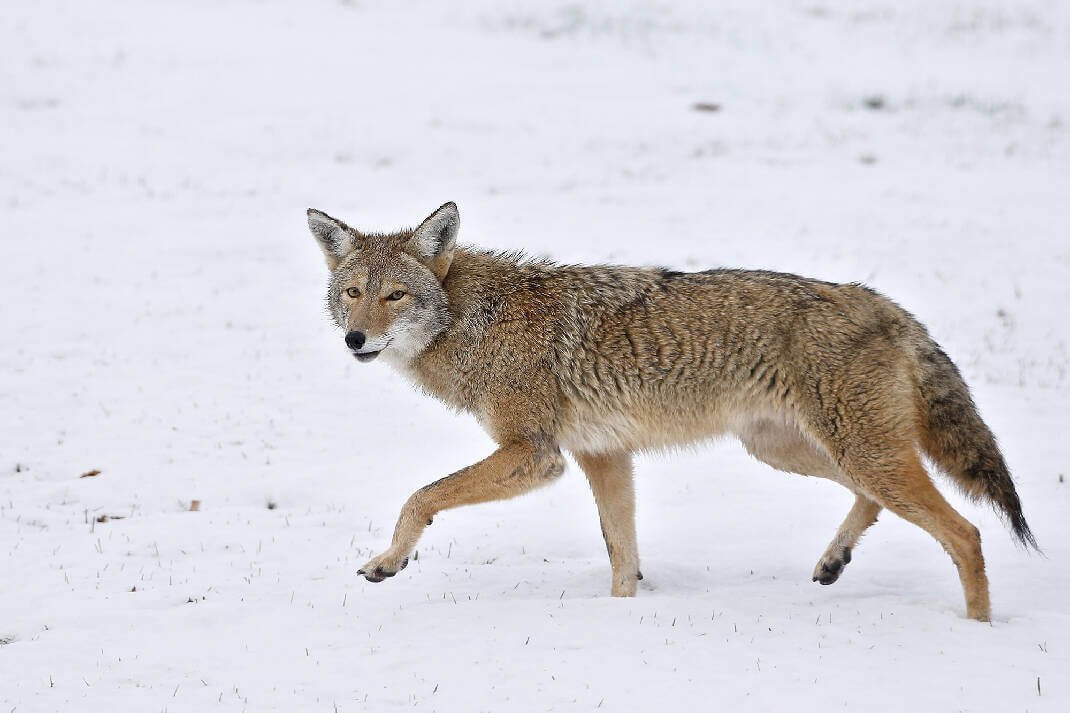 can you eat coyote